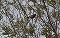 Red-browed Firetail (3115092251).jpg