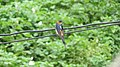Red-rumped swallow (Cecropis daurica)- Wiki Loves Birds 36.jpg