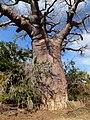 Red Baobab Morombe Madagascar - panoramio.jpg