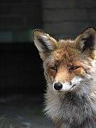 Red Fox2.JPG