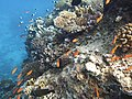 Red Sea Corals5.JPG