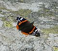 Red admiral in PNP.jpg