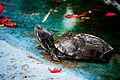 Redneck Turtle.jpg