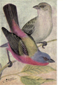 Reed-painted-bunting.png