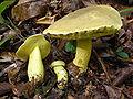Retiboletus ornatipes 58221.jpg