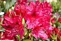 Rhododendron catawbiense Nova Zembla 2zz.jpg