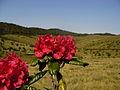 Rhododendron zeylanicum (1376271812).jpg