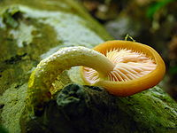 A mushroom growing out of a log with its white stem greatly curved so that the yellow mushroom cap lies down, exposing the gills. Small yellow drops of liquid are visible on the stem.