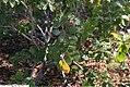 Rhus aromatica Gro-Low 1zz.jpg