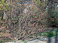 Ribes sanguineum (aka).jpg