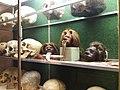 Rillieux-la-Pape - Musée Testut-Latarjet, vitrine des crânes, têtes réduites.jpg