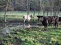 Rinder in Radebeul.jpg