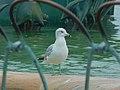 Ring-billed Gull Aug 2020. DSCN1427 01.jpg