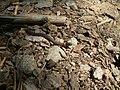 Ringneck Snake (8551717409).jpg