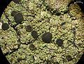 Rinodina colobinoides - Flickr - pellaea.jpg
