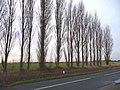 Roadside row of poplars, Roe Lane - geograph.org.uk - 1621667.jpg