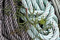 Rope and Plant - geograph.org.uk - 561712.jpg