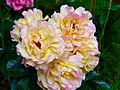 Rosa 'Lampion' 1.jpg