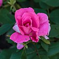 Rosa 'Pink Knock Out' (actm) 01.jpg
