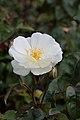 Rosa 'moonlight' Moschatahybride. Locatie De Kruidhof.JPG