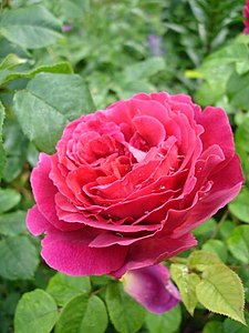 Rosa Auslo1UME.jpg