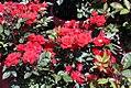 Rosa Autumn Sunblaze = Meiferjac 2zz.jpg
