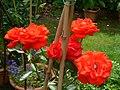 Rosa Ave Maria 3.JPG