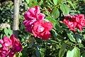 Rosa Blaze of Glory 0zz.jpg