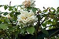 Rosa Rêve d'or - Giverny01.jpg