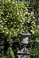 Rosa banksiae 'Lutea', Lady Banks' and garden vase at Myddelton House, Enfield, London 01.jpg