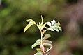 Rosa glauca inflorescence (07).jpg