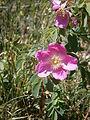 Rosa pendulina 001.JPG