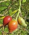 Rosa tomentosa fruit (07).jpg