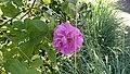 Rosa x damascena bifera.jpg
