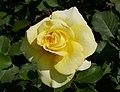 Rosarium Baden Rosa 'Sterntaler' Kordes 2004 03.jpg