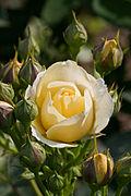 Rose, Golden Border - Flickr - nekonomania (6).jpg