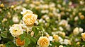 Rose, Graham Thomas, バラ, グラハム トーマス, (13159164654).jpg