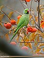 Rose-ringed Parakeet (Psittacula krameri) (25804665070).jpg
