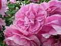 Rose Mary Rose バラ メアリー ローズ (6935086747).jpg