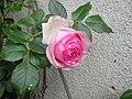 Rose P de Ronsard.jpg