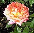 Rose Yankee Doodle.jpg
