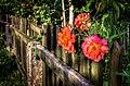 Roses (16044466566).jpg
