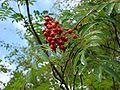 Rowan berries Wester Ross.jpg
