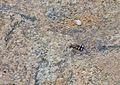 Royal Tiger Beetle (Chaetodera regalis) (12616470075).jpg