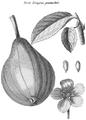 Rozier - Cours d'agriculture, tome 8, pl. 13, verte longue panachée.png