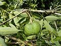 Rubber seed-റബർ കായ്.JPG