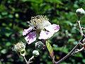 Rubus ulmifolius Closeup SierraMadrona.jpg