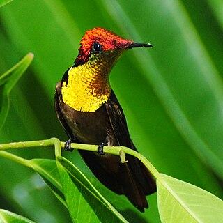 Ruby-topaz hummingbird Species of bird