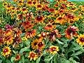 Rudbeckia-Flowers-Jardin des Plantes de Paris.jpg