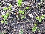 Ruhland, Grenzstr. 3, Duftveilchen im Garten, blau blühend, Wurzelstöcke, Frühling, 01.jpg